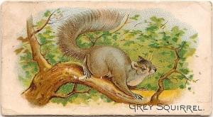 squirrel 1890 (front)